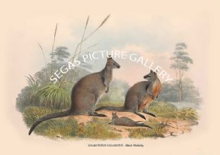 HALMATURUS UALABATUS -- Black Wallaby